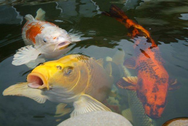 Gartenteich koi winterfest garten design ideen um ihr for Koi fische im gartenteich